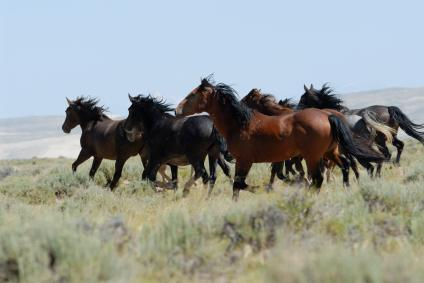 Wild Horses on the Plains
